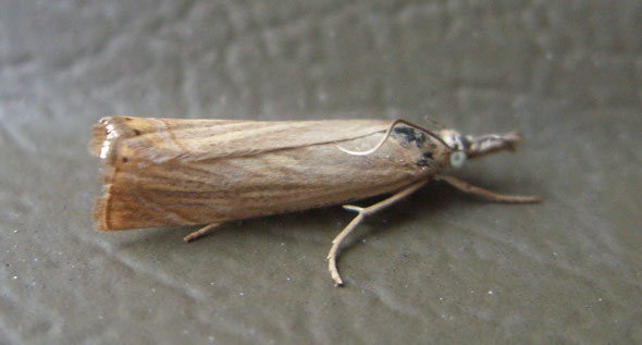Miscellaneous grass moth