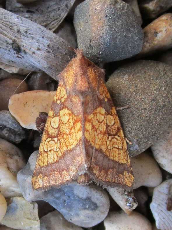 This gorgeous beast is the frosted orange Gortyna flavago, not an ice lolly but a moth