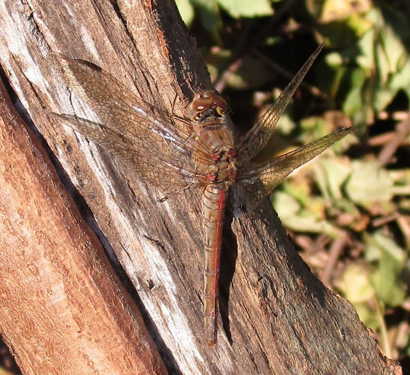 Female common darter dragonfly Sympetrum striolatum