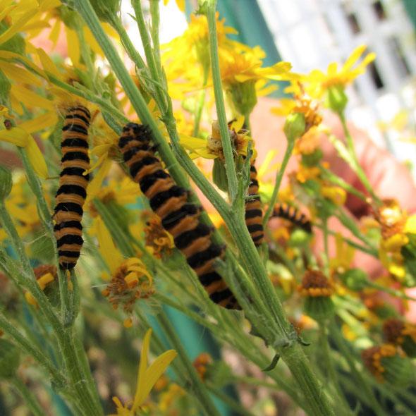 Cinnabar moth caterpillars Tyria jacobaeae