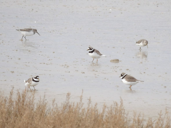 A mixed bag of small waders; dunlin Calidris alpina, which are the greyish birds in the background, and ringed plovers Charadrius hiaticula, the strongly-marked specimens in the foreground.