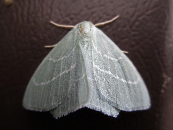 Small Emerald moth Hemistola chrysoprasaria
