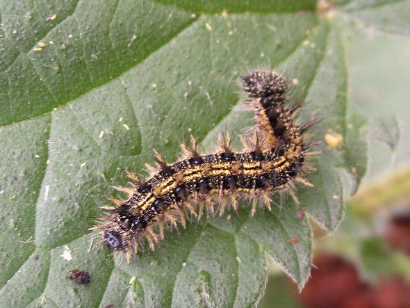 Small tortoiseshell larva Aglais urticae