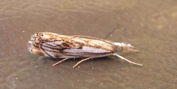 Micromoth Catoptria falsella