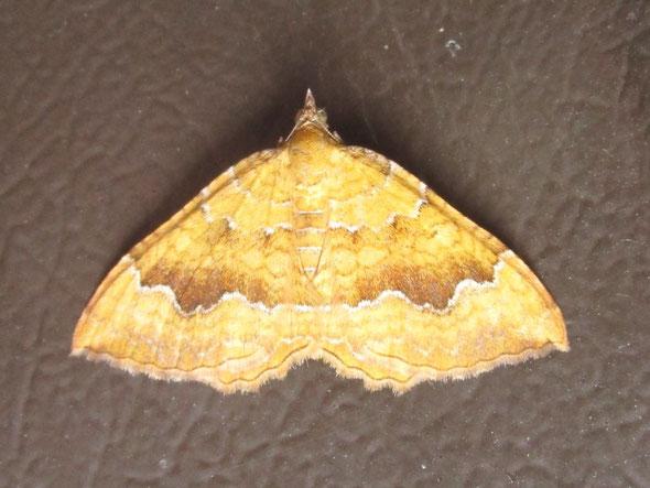 Yellow Shell moth Camptogramma bilineata