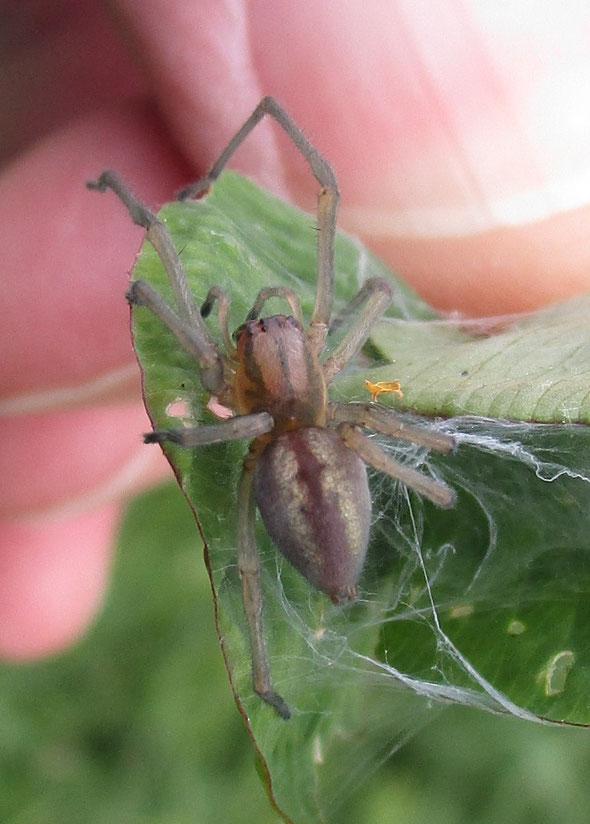 Spider: Clubiona species