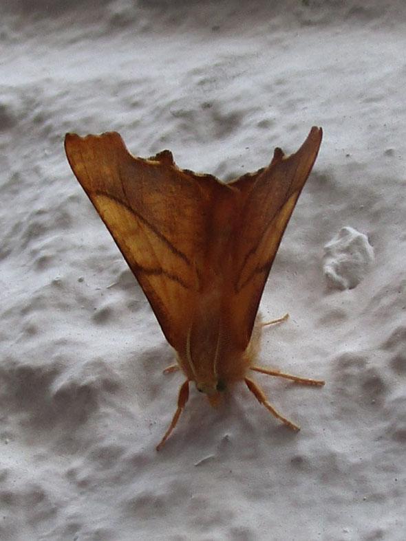 Dusky Thorn moth Ennomos fuscantaria