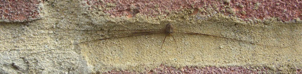 Another harvestman