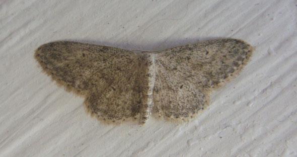 Small dusty wave moth Idaea seriata