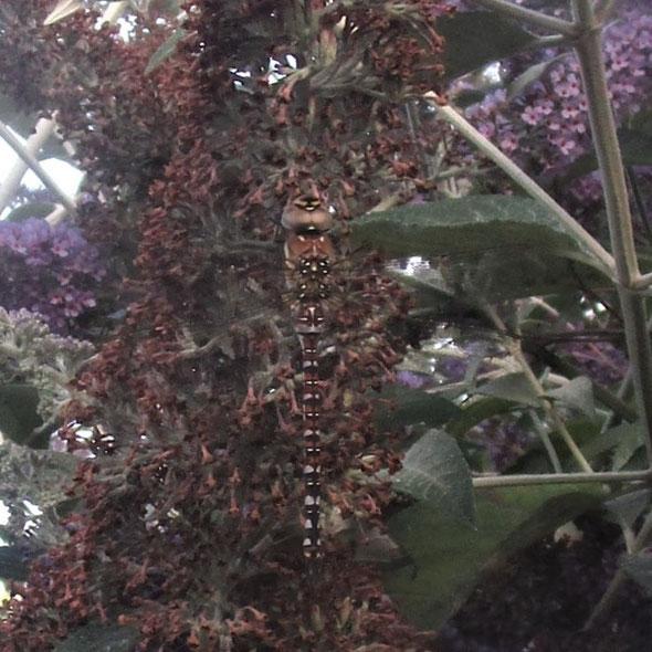 Juvenile migrant hawker dragonfly Aeshna mixta