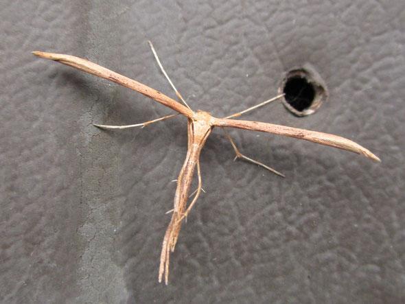 Common plume Emmelina monodactyla