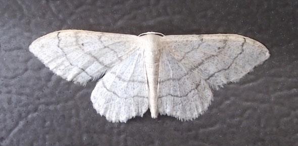 Riband Wave moth Idaea aversata