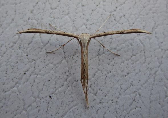 Common plume moth Emmelina monodactyla