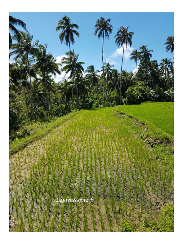 Les rizières de Siquijor Island