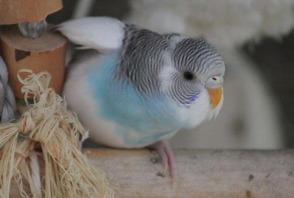 Perruche Ondulée (Tornade), 2 mois