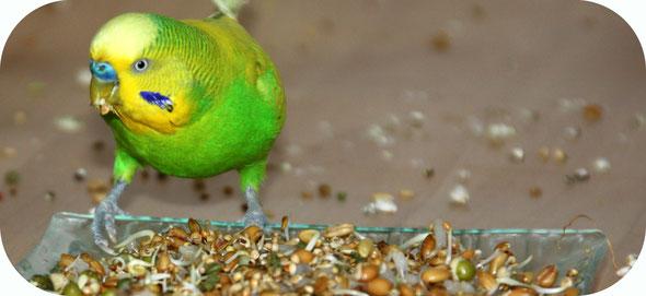 Perruche qui mange des graines germées