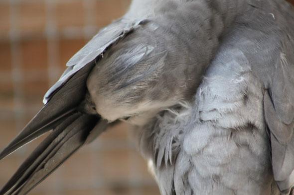 Probl mes de plumes perruches et perroquets - Signification des plumes d oiseaux ...