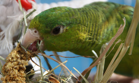 Perruche Catherine (Verde), 1 an.