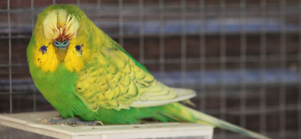 La mue renouvellement du plumage perruches et perroquets for Maladie poules perte plumes
