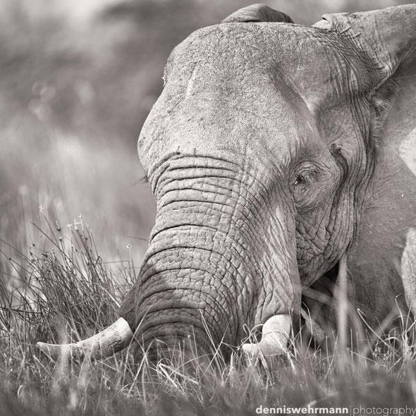 elephant  gunns camp okavango delta botswana