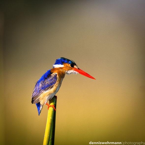 malachite kingfisher  gunns camp okavango delta botswana