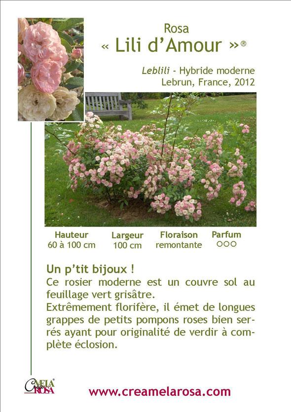 lili d'amour couvre sol mela rosa