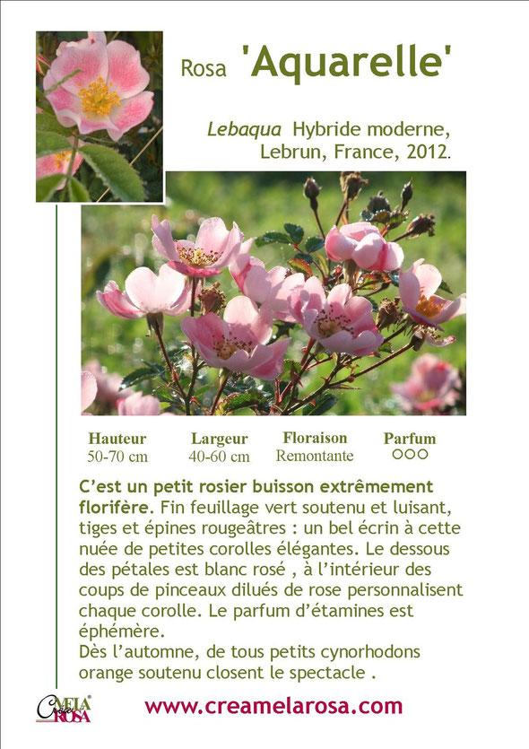 Fiche descriptive du rosier 'Aquarelle'