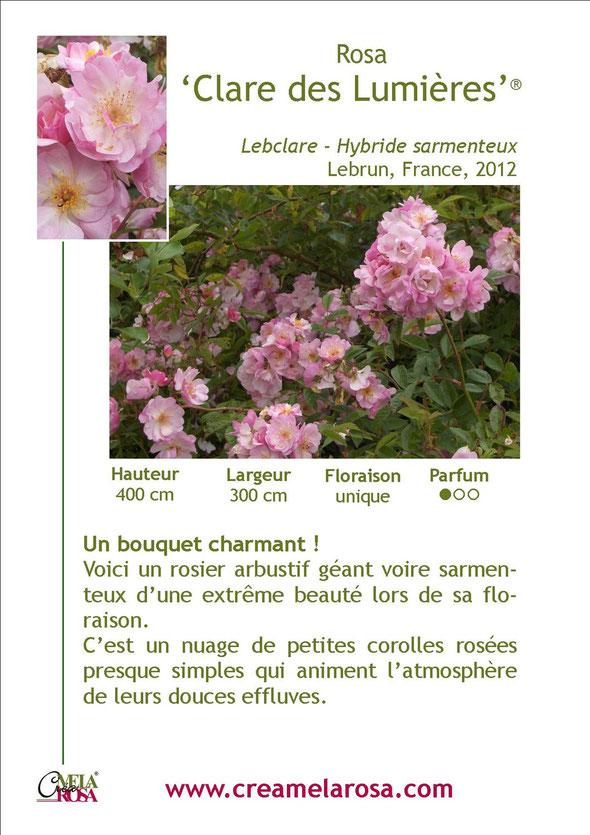 Fiche descriptive du rosier Clare des Lumières   Obtention Creamelarosa