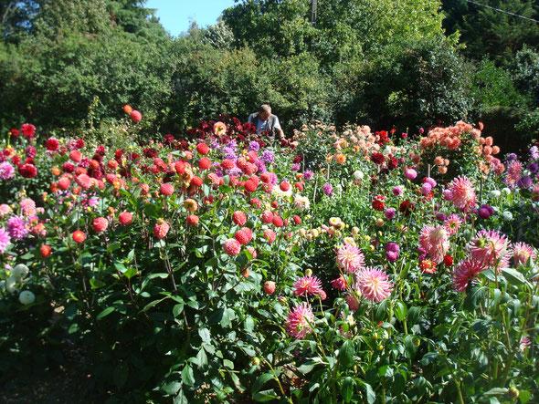 dahlias jardin SHAF - Saint Nazaire