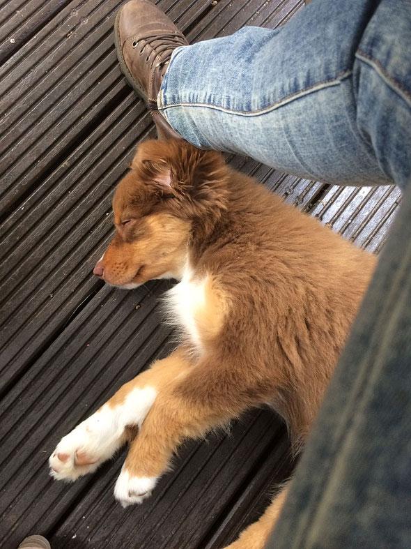 Australien Shepherd Welpe red tri