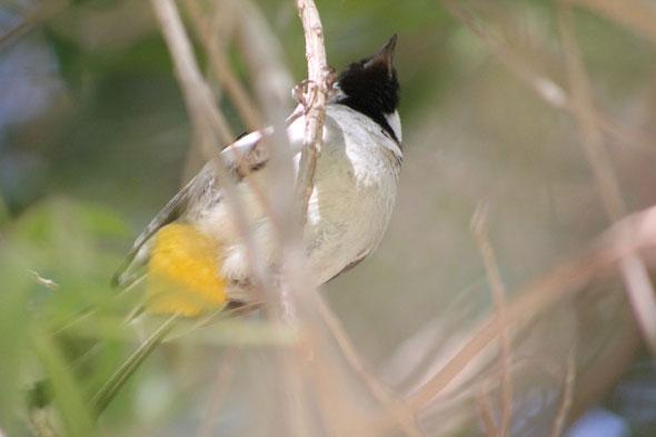 White-eared Bulbul