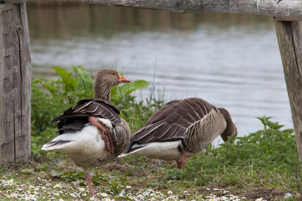 Twee grauwe ganzen  die naar een meer stappen.