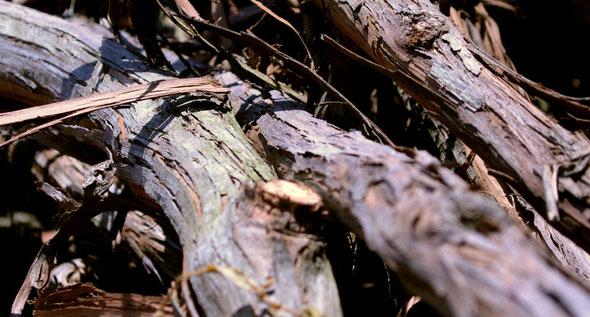 山葡萄の幹