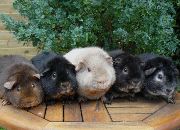 De gauche à droite: feu havane, feu noir, feu ardoise, loutre noir et fox noir.