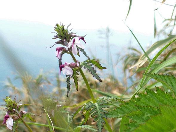 ヨツバシオガマ・・・まったく咲き初めでこの花の豪華さはもう少し待ちましょう。