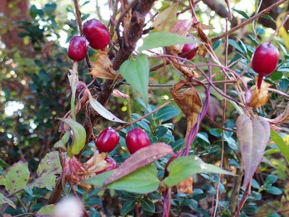 これだけたくさんの実を付けているツルリンドウも珍しい。