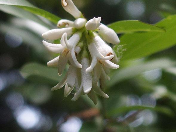 室堂で見かけなくなったイボタノキが奥の院への途中で花をつけていた。