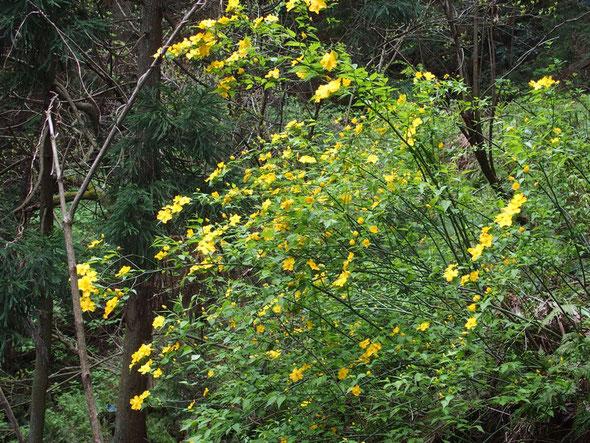 ヤマブキも見ごろ・・このコースでは少ないがその分この黄色の鮮やかさが目に飛び込んできました。