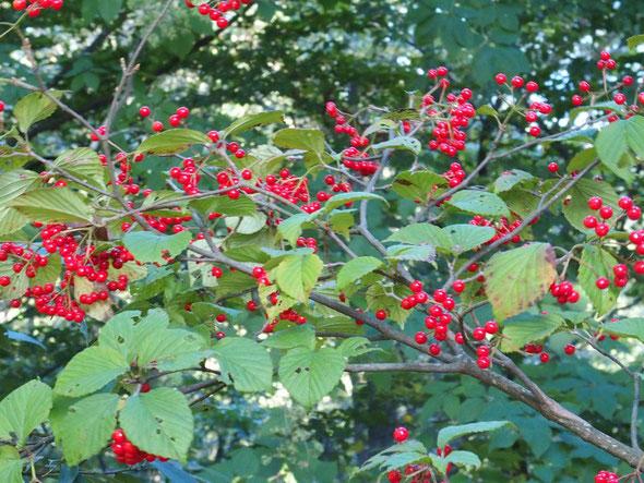 赤い実をたわわに付けたガバズミ・・・秋の到来の象徴みたいです