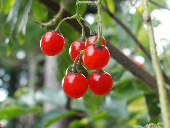 ヒヨドリジョウゴの実:この透き通る赤い実は格別です