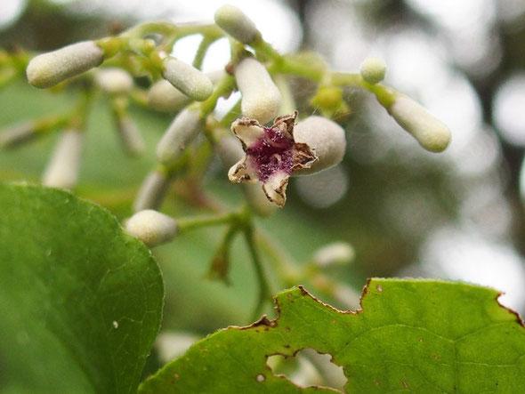 八幡山で見かけたこの花、調べたが不明です