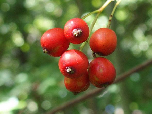 ナンキンナナカマドが熟していました。(文殊山でもよく見かける樹木ですが実成りはよくない)