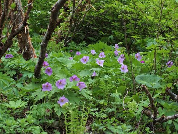 今回の一番の目当てはこのシラネアオイです。大きな群落を作って一斉に咲いていました。
