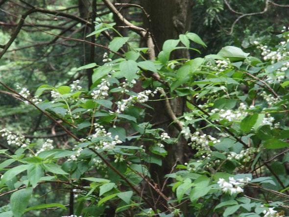 空木は種類が多く早咲き遅咲きといろいろ。本命のウツギはようやく咲き始めたばかりです。