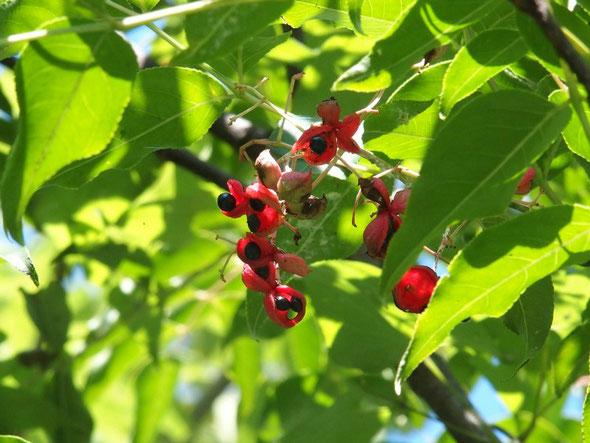 ゴンズイ:登山道脇ではあまり実を着けていませんが、樹木林の高木には鈴なりです。