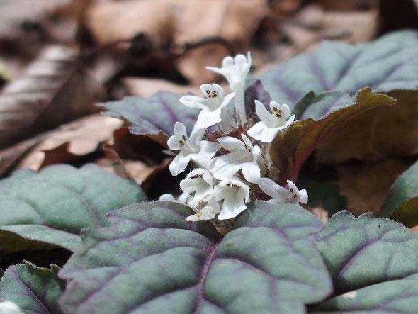 ニシキゴロモの白花です。今年はたくさん見かけました。