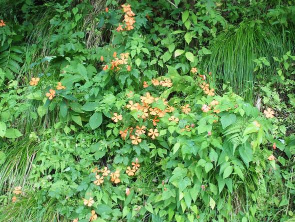 花の終焉機で花を終えた株が多く群落全体は縮んでいました。もう2週間ほど前が見ごろでしょう。