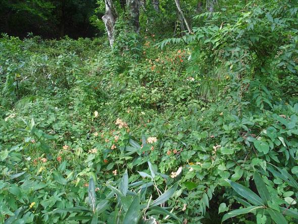 最初に目にした一目なん十株のフシグロセンノウの群落。写真の上にもまだあります。