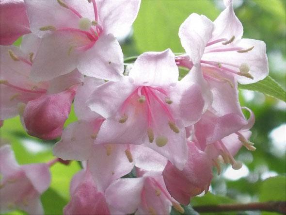 タニウツギ:ピンクの色合いもさまざまで見飽きませんよ。
