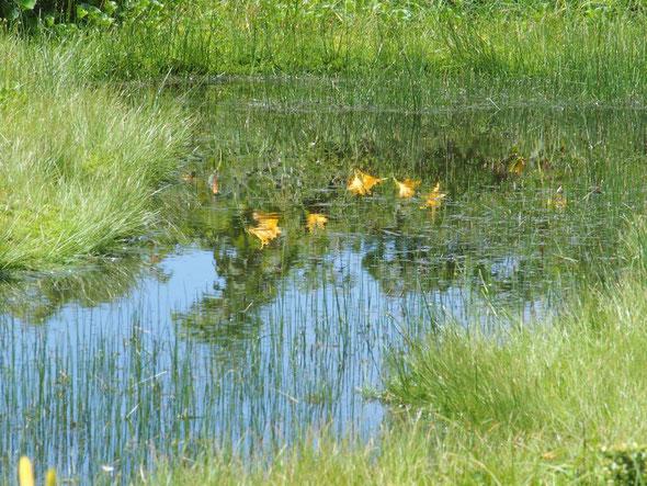暑かったこの日、赤池に咲くニッコウキスゲの清涼感に元気が出た。